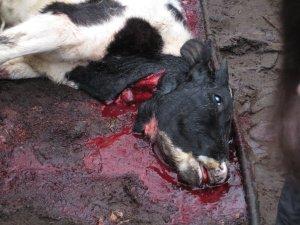 Kalv slaktad enligt shechita