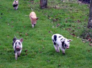 Svenska (och relativt lyckliga) grisar